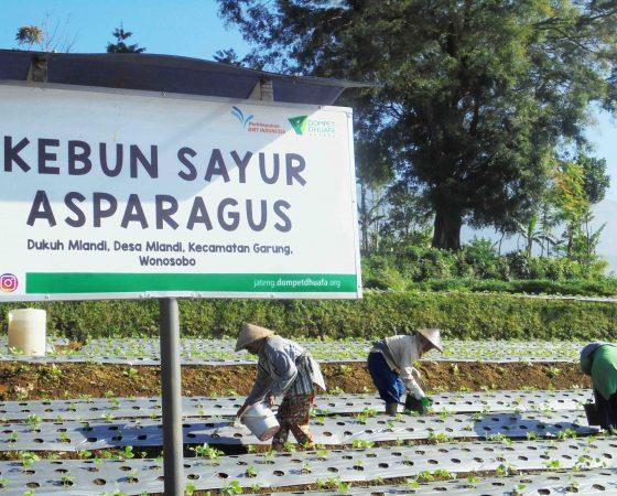Kebun Sayur Asparagus